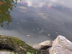 Ryby můžete občas nakrmit i suchým pečivem.