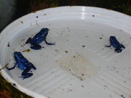 Pralesničkám (Dendrobates) stačí malá miska s vodou