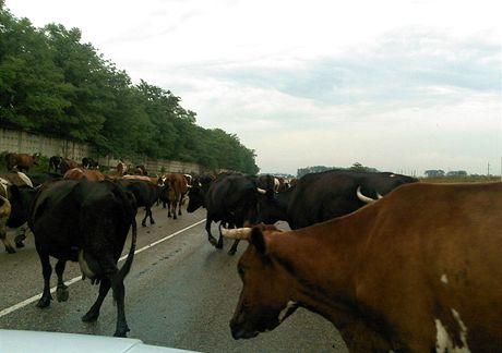 Cestu od moře do hor občas zbrzdí krávy