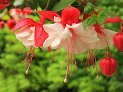 Květ fuchsie připomíná baletku, proto se u nás dříve fuchsiím říkalo tanečnice.