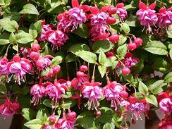 Převislé kultivary vytvářejí nádherný vodopád květů až do pozdního léta.