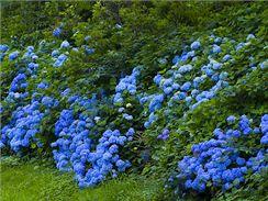 Při správné péči vám hortenzie krásně pokvetou celé léto. Keře modrých hortenzií v japonské zahradě