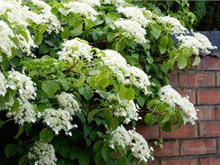 Popínavá hortenzie řapíkatá (Hydrangea petiolaris)