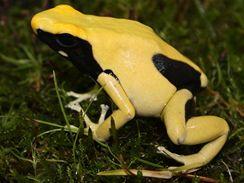 Žlutočerná pralesnička (Dendrobates)