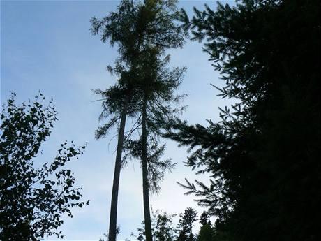 Modříny, ze kterých letečtí záchranáři vysvobozovali paraglidistu na vrchu Svatobor u Sušice