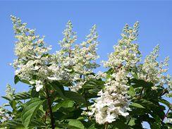Hortenzii latnatou ( Hydrangea paniculata), až 2 metry vysoký keř s nízkým kmínkem, snadno rozpoznáte podle květních kuželů dlouhých 20 až 30 cm