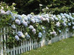 Z hortenzií můžete vytvořit i živý plot