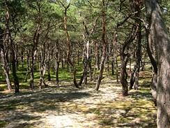 Polsko. Balt, borovicový les - Karwia