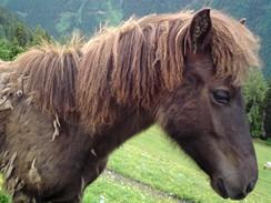 Rakousko, typičtí koně ve Štýrsku