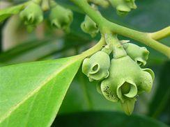 Černá sapota kvete většinou na jaře či v létě, plody dozrávají až 12 měsíců.