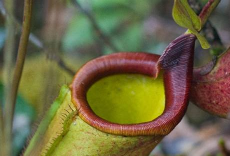 Nepenthes deaniana