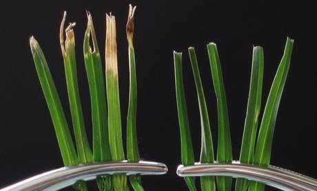 Rozdíl mezi trávou useknutou klasickou rotační sekačkou a ustřihnutím pomocí vřetenové
