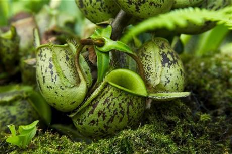 Láčkovky (Nepenthes) jsou velice rozmanitým druhem masožravek, jejich pasti se výrazně liší velikostí, tvarem i zbarvením