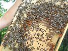 Včely se nedají rušit od práce, kterou mají přesně rozdělenou