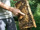 Včelař ukazuje, odkud vylétnou trubci