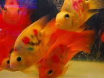 Tetované čínské rybičky