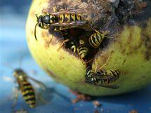 Spadané hnijící ovoce je pro vosy také velkým lákadlem, proto se má sbírat. Také není úplně ideální chodit po zahradě naboso