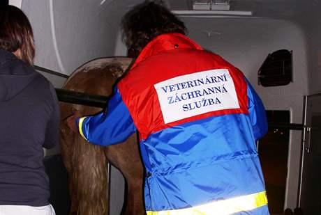 Tomáš Förchtgott (vpravo) z brněnské koňské záchranky nakládá zraněného koně ze Žebětína do koňské sanity