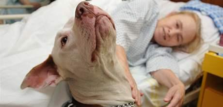 Fena pitbula Ája u postele pacientky Aleny Pechanové v Nemocnici Milosrdných bratří