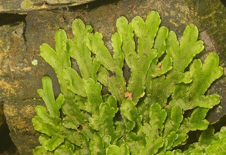 Křivoklátsko, Údolí ticha. Tato zvláštní rostlina patří mezi mechorosty a jmenuje se porostnice mnohotvárná. Zdobí vlhké kameny v Kublovském (Lučním) potoce