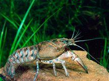 Rak pruhovaný (Orconectes limosus) patří mezi invazní druhy ze Severní Ameriky. Ty přenášejí račí mor, který je v případě nákazy stoprocentně smrtelný pro původní druhy