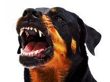 Rotvajler vzbuzuje respekt, proto ho laici mylně považují za bojového psa