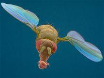 Octomilka v letu, snímáno elektronovým mikroskopem