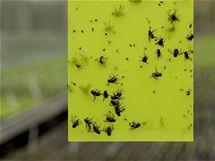Lapače hmyzu se dají nalepit na rám okna i přímo na sklo. Používají se i ve sklenících