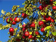 BIO jablka sice nebývají velká a nablýskaná, zato jsou bez pesticidů a nejrůznějších leštidel mnohem zdravější