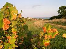 Maďarsko, vinice nad Balatonfüred, v pozadí je vidět hladina jezera