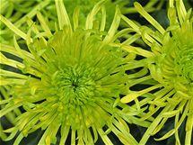 Chryzantémy vám na přelomu září a října vnesou domů sluníčko, vyčistí vzduch a ještě vás zbaví stresu