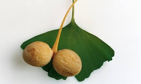 Jinan (ginkgo) se semeny