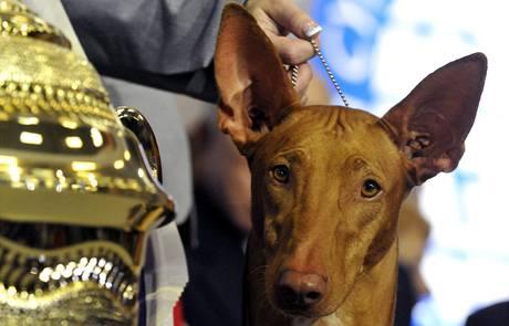 Nejhezčí pes světové výstavy psů World Dog Show 2009 - pětiletý Faraonský pes Jenny Hallové ze Švédska
