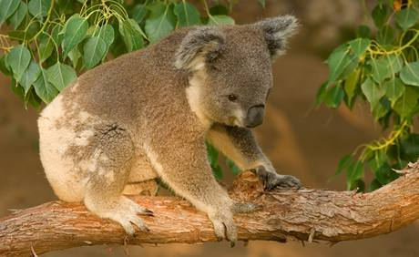 Medvídek koala