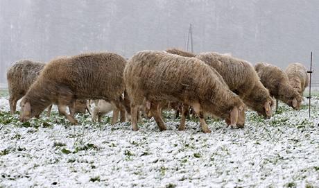 Stádo ovcí na louce u rakouského Salzburgu neodradila před hledáním potravy  ani sněhová přikrývka . (14. října 2009)