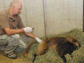 Paviána dželadu Heika, který utekl z brněnské zoo, chytili chovatelé pomocí narkotizační pušky.