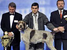 Vítěz kategorie slovenských národních plemen světové výstavy psů World Dog Show 2009 - Slovenský hrubosrstý stavač Ben Andreje Sigeta