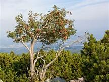 Červené plody jeřabin zdobí podzimní krajinu. Na snímku je dobře vidět, jak se pod pásmem kosodřevin objevují zpočátku pouze nízké a osamělé smrky