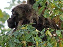 Opičák Heiko se skrývá v areálu brněnské zoo. V neděli dopoledne se jej nepodařilo chytit.