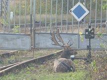 Stokilový daněk se objevil u rušné silnice v Brně. Chytali ho tři hodiny