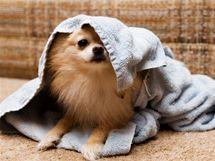 Přemnožené blechy se dostanou i do koberce, prádla, zkrátka kamkoliv, kde se pes vyskytuje