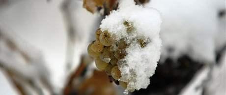 Vinohrad zapadaný sněhem, Sedlec na jižní Moravě (3. 11. 2009)