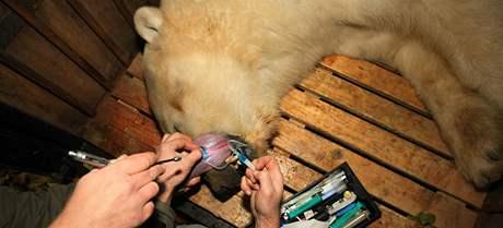 Stěhování ledního medvěda jménem Umca z brněnské zoo do Bratislavy