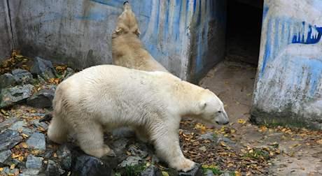 Lední medvěd Umca zažívá stěhování ze ZOO Brno do ZOO Bratislava