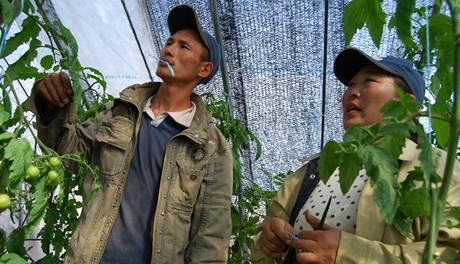 Altanceceg (vlevo) dříve kopal zlato, nyní pěstuje rajčata
