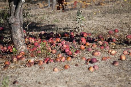 Spadaná jablka v žádném případě nenechávejte ležet pro stromem