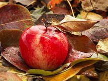 Zdravá spadaná jablka raději co nejrychleji zpracujte, na uskladnění se moc nehodí