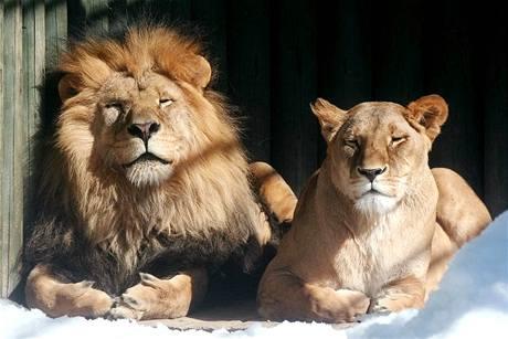 Lvi v liberecké ZOO, kteří roztrhali tygřici Isabellu.