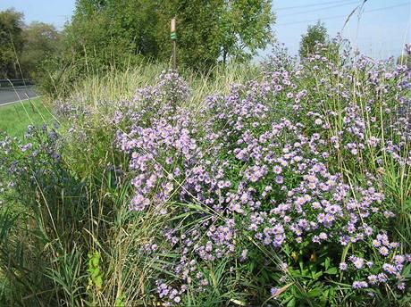 """Astry je typickou rostlinou, která """"utekla"""" ze zahrady. Za poměrně krátký čas je schopna vytvořit ve volné krajině souvislý porost, který se jen obtížně likviduje."""