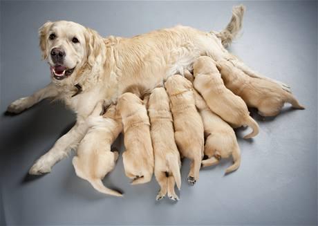 Fena i pes mohou mít štěňátka po vysazení antikoncepce